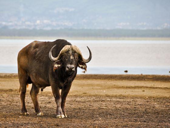 Cape Buffalo at Lake Nakuru National Park