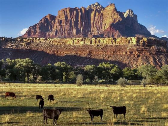 Cattle grazing at Zion National Park