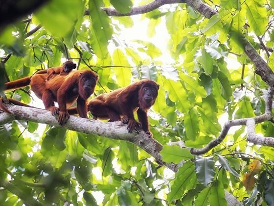Costa Rican Howler Monkey Family