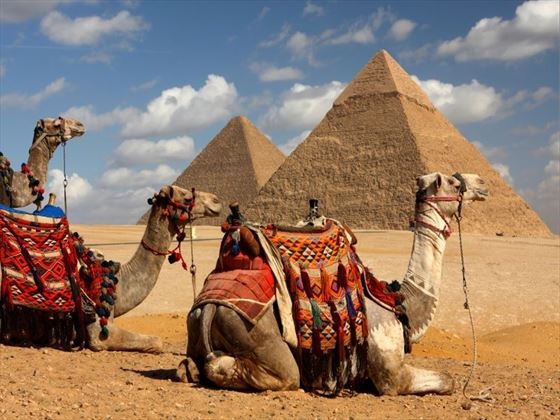 Camels sitting in front of the pyramids