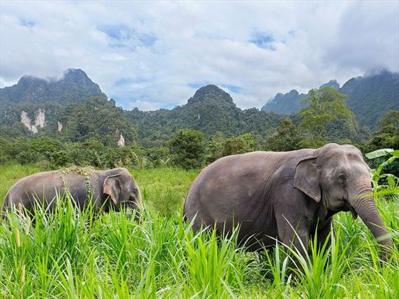 Elephants at Elephant Hills, Khao Sok