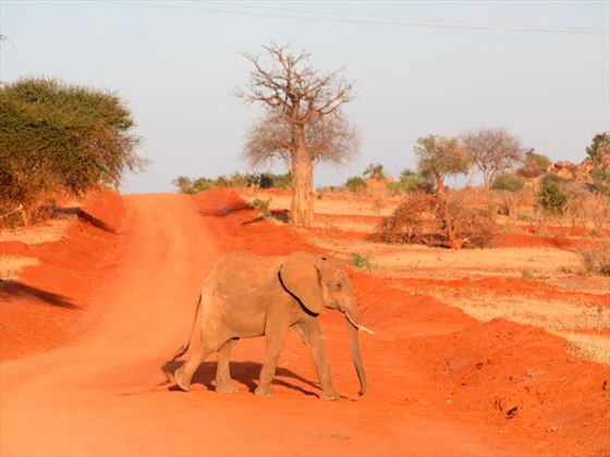 Elephant walking on a red road in Tsavo National Park