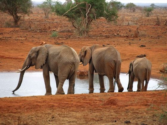 Elephants at Ngutuni
