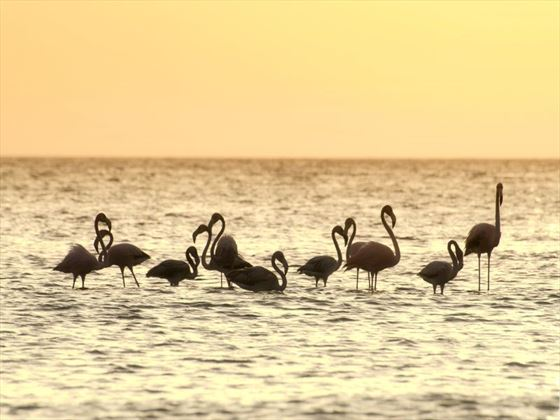 Flamingoes in the sea at sunset