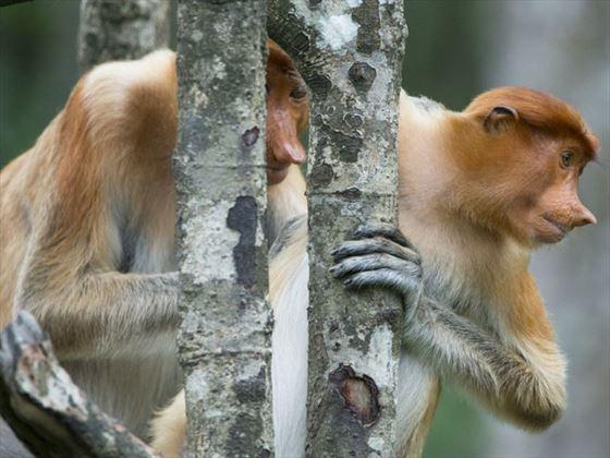 Probiscis monkeys
