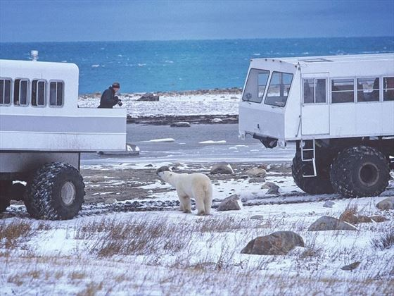 Getting close to a polar bear on a tundra adventure in Manitoba