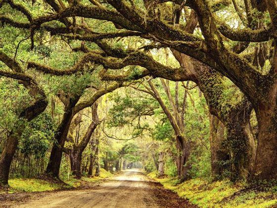 Giant oak trees in Charleston