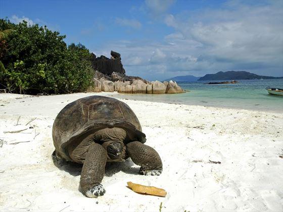 Giant tortoise on Praslin Island