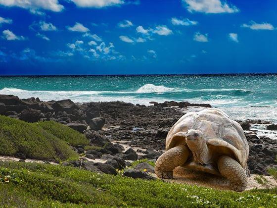 Galapagos Giant Turtles