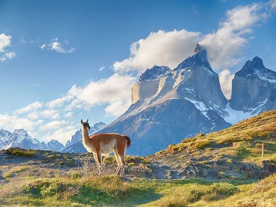 Guanaco in the beautiful Patagonian Region