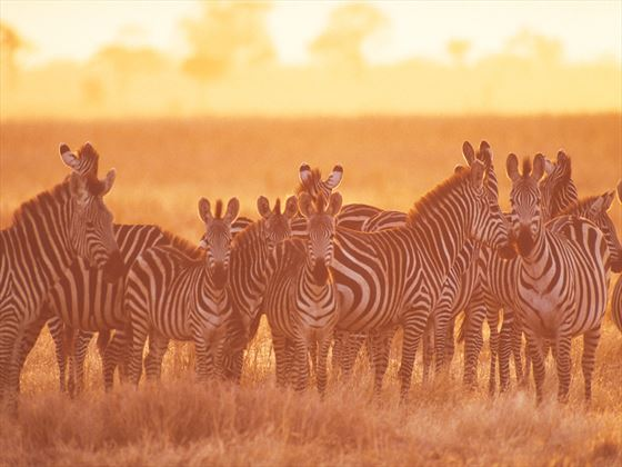Herd of zebras at Tarangire National Park