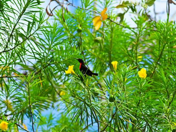 Hunters sunbird at Tsavo National Park