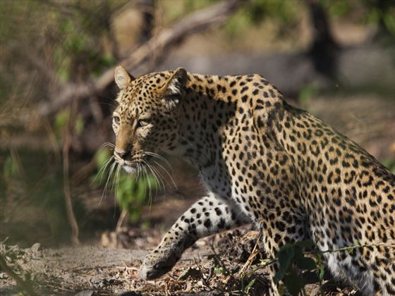 Leopard at Lake Manyara National Park