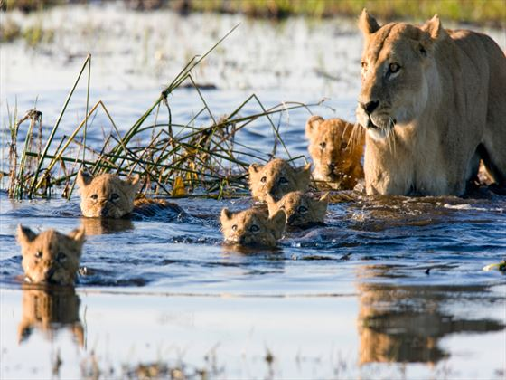 Lions swimming in Botswana