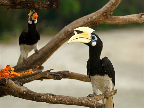 Local birdlife in Pangkor