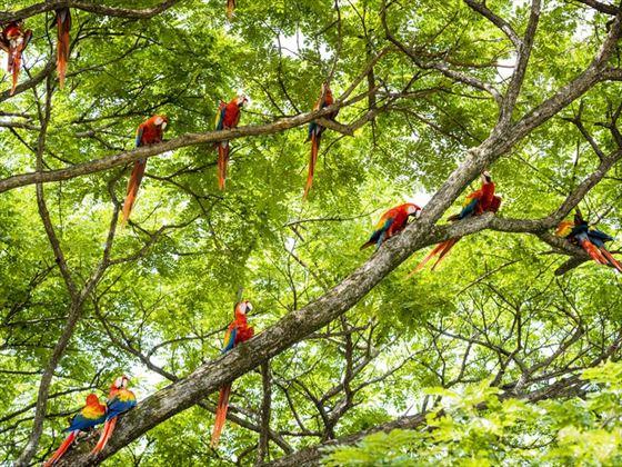 Macaws in Guanacaste, Costa Rica