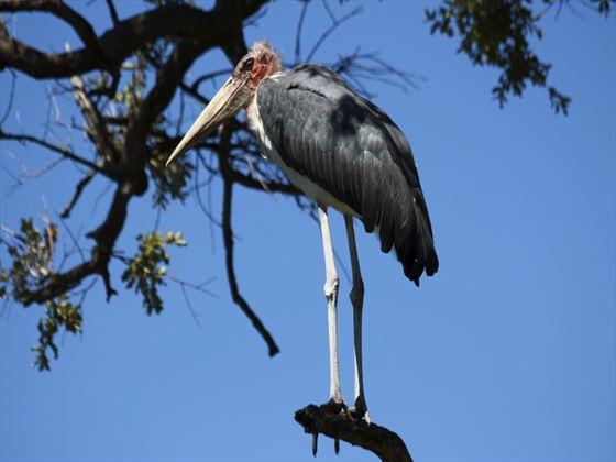 Marabu stork, Okavengo Delta