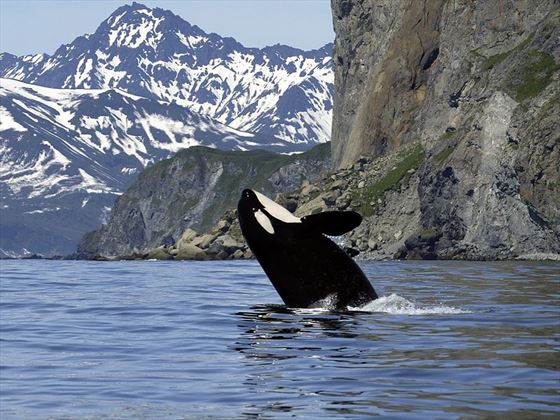 Orca, Vancouver Island