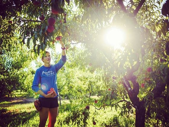 Picking peaches at Paynter's Fruite Market in the Okanagan Valley