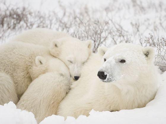 Polar bear mum and cubs