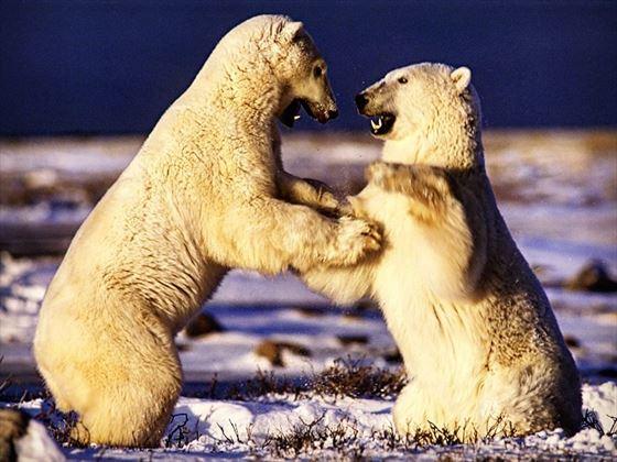 Polar bears wrestling, Manitoba