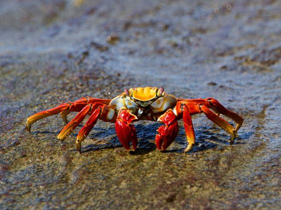 Red Galapagos crab