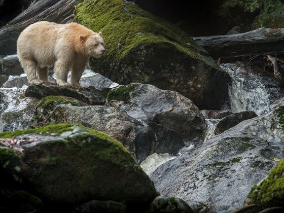 Sprit bear in the Great Bear Rainforest, British Columbia
