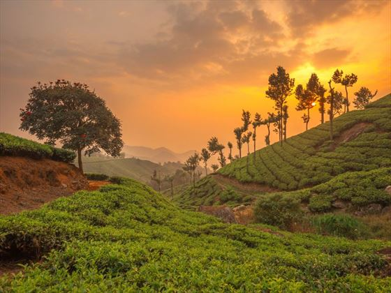 Tea planations in Kerala