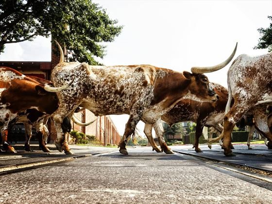 Texas Longhorns crossing in Fort Worth