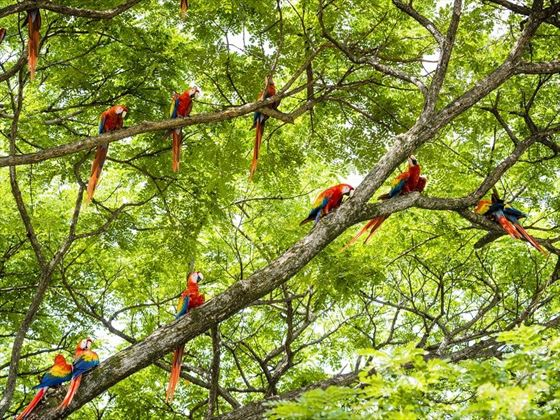 Tropical Macaw Birds in the Costa Rican Rainforest