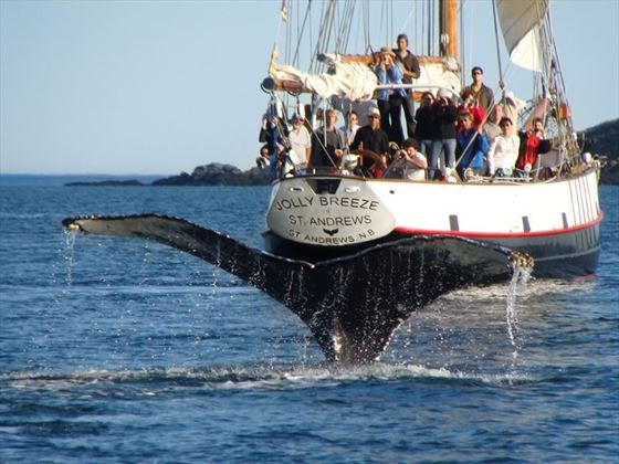 Whale watching aboard the Jolly Breeze tall ship