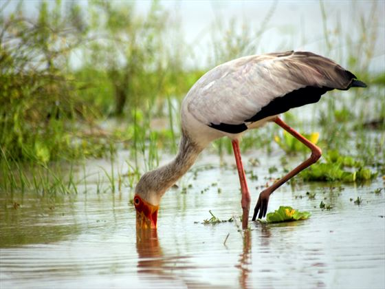 Yellow-billed stork, Selous Game Reserve