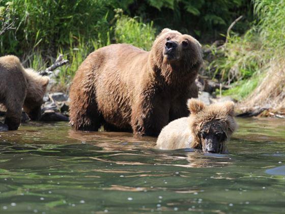 Yellowstone bears