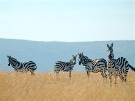 Zebra in Ol Kinyei Conservancy