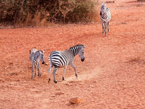 Zebras in the Selenkay Conservancy