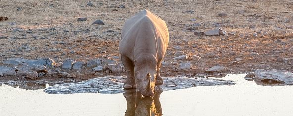 Black rhino in Namibia