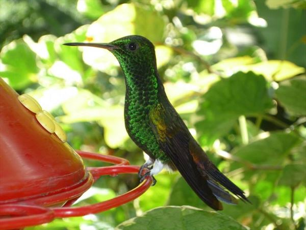 humming bird nature tobago
