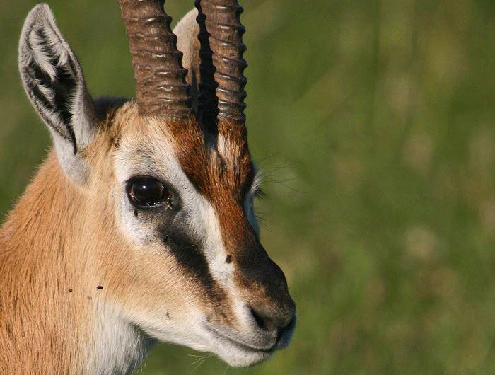 Kenyan antelope - Jenn O'Neill