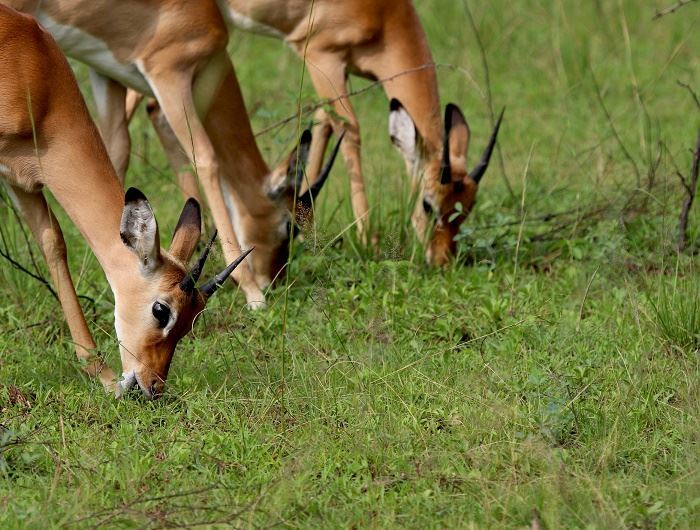 Antelope in Rwanda - getty