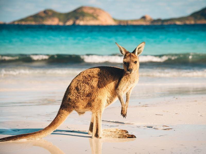 Kangeroo australia beach