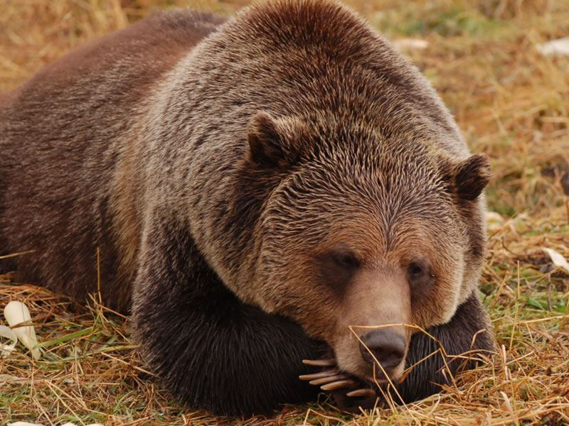boo grizzly bear interpretive centre kicking horse
