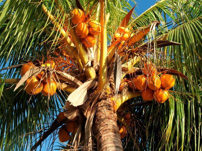 coconut tree samoa