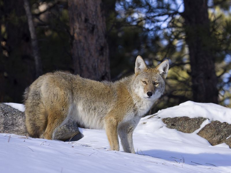 coyote rocky mountain national park
