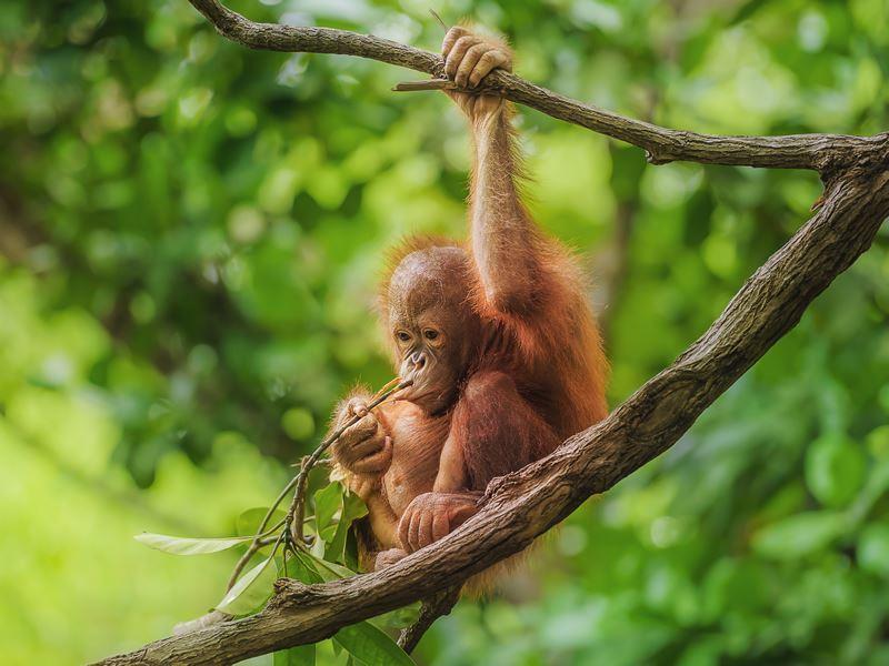 cute baby orangutan borneo