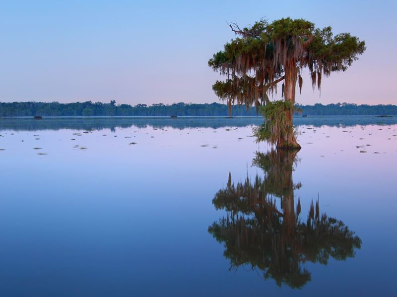 Cypress tree in Lake Martin, Louisiana