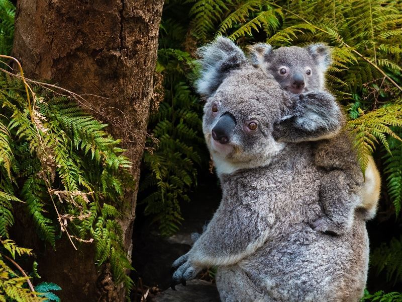 encounter the native koalas