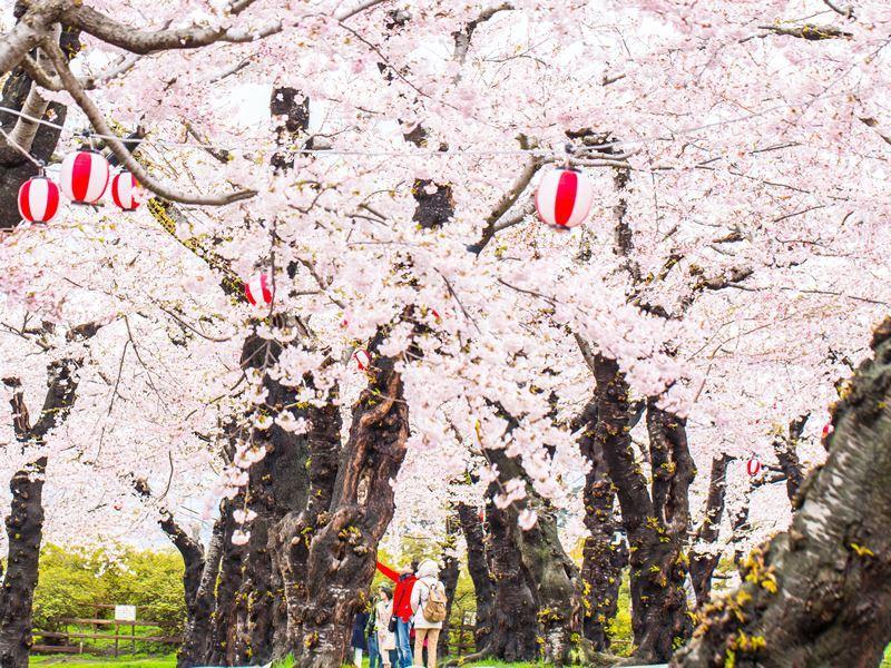 goryokaku garden park blossom hakodate japan
