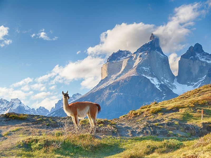 guanaco in patagonia chile hills