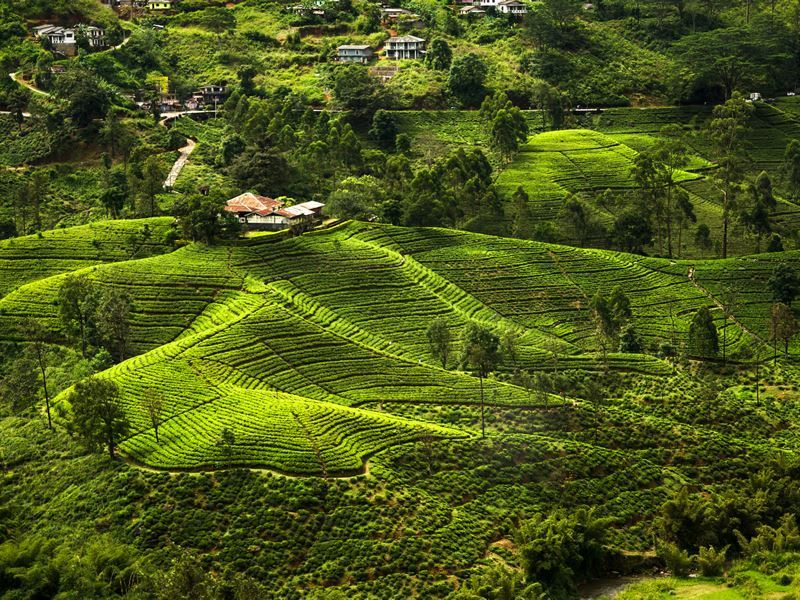 hill country tea plantation land sri lanka