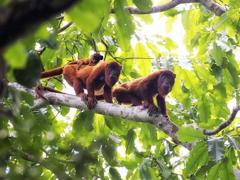 howler monkeys in brazil